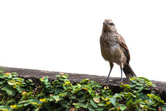 Σπουργίτι λίγη συνεδρίαση πουλιών που απομονώνεται στο άσπρο κλίμα Στοκ εικόνα με δικαίωμα ελεύθερης χρήσης