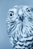 Σπουργίτι-γεράκι Στοκ εικόνα με δικαίωμα ελεύθερης χρήσης
