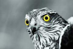 σπουργίτι γερακιών Στοκ φωτογραφία με δικαίωμα ελεύθερης χρήσης
