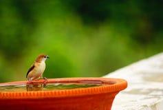 Σπουργίτι, μικροσκοπικό πουλί Στοκ Φωτογραφία