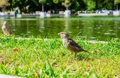 Σπουργίτι πουλιών κοντά στη λίμνη Στοκ Εικόνα