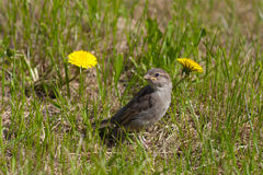 σπουργίτι πουλιών μωρών Στοκ φωτογραφίες με δικαίωμα ελεύθερης χρήσης