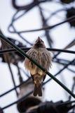 Σπουργίτι πουλιών πόλεων, ενεργός και γρήγορος Στοκ Φωτογραφίες