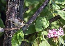 Σπουργίτι πουλιών στον κλάδο Στοκ εικόνες με δικαίωμα ελεύθερης χρήσης