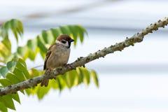 Σπουργίτι πουλιών στους κλάδους των θάμνων, κοινό σπουργίτι στον κλάδο Στοκ Εικόνα