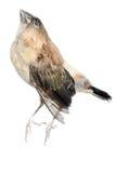 σπουργίτι πουλιών Στοκ φωτογραφία με δικαίωμα ελεύθερης χρήσης