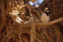 Σπουργίτι που εξετάζει τη κάμερα στην έρημο Στοκ Εικόνες