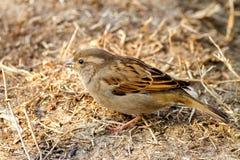 Σπουργίτι πουλιών άγριων ζώων στο έδαφος που ψάχνει τα τρόφιμα Στοκ Εικόνες