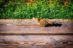 Σπουργίτι πουλιών σε μια ξύλινη επιφάνεια Στοκ Εικόνες