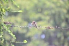 Σπουργίτι πουλιών στη θέση φύσης Στοκ εικόνα με δικαίωμα ελεύθερης χρήσης