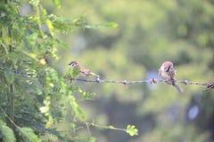 Σπουργίτι πουλιών στη θέση φύσης Στοκ φωτογραφία με δικαίωμα ελεύθερης χρήσης