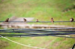 Σπουργίτι πουλιών στη θέση φύσης Στοκ Φωτογραφία