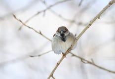 Σπουργίτι πουλιών στον κλάδο το χειμώνα Στοκ Εικόνες