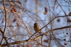 Σπουργίτι πουλιών Στοκ Φωτογραφίες