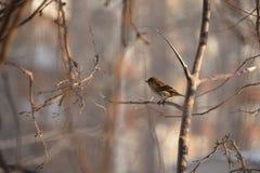 Σπουργίτι πουλιών Στοκ φωτογραφίες με δικαίωμα ελεύθερης χρήσης