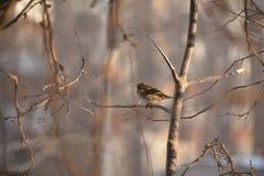 Σπουργίτι πουλιών Στοκ Φωτογραφία