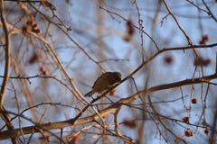 Σπουργίτι πουλιών Στοκ εικόνες με δικαίωμα ελεύθερης χρήσης