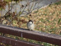 Σπουργίτι πουλιών Στοκ Εικόνες