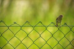 Σπουργίτι που σκαρφαλώνει στο καλώδιο-δίχτυ Στοκ εικόνες με δικαίωμα ελεύθερης χρήσης