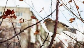 Σπουργίτι σε ένα δέντρο Στοκ Εικόνα