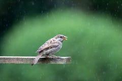 Σπουργίτι σε ένα σπίτι πουλιών το καλοκαίρι Στοκ Φωτογραφία