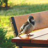 Σπουργίτι σε μια καρέκλα Στοκ Φωτογραφίες