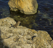 Σπουργίτι σε μια πέτρα Στοκ Εικόνα