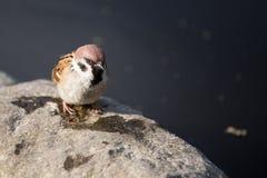 Σπουργίτι σε μια πέτρα Στοκ εικόνες με δικαίωμα ελεύθερης χρήσης
