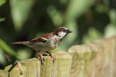 σπουργίτι σπιτιών πουλιών Στοκ Φωτογραφία