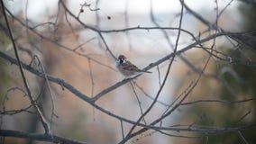 Σπουργίτι σπιτιών σε έναν κλάδο δέντρων στην ηλιόλουστη χειμερινή ημέρα στο πάρκο στοκ εικόνα με δικαίωμα ελεύθερης χρήσης