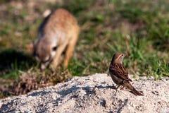 Σπουργίτι και suricatta σπιτιών Στοκ Φωτογραφίες