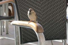 Σπουργίτι στην καρέκλα Στοκ εικόνες με δικαίωμα ελεύθερης χρήσης