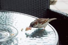 Σπουργίτι στον πίνακα στον καφέ οδών Στοκ Φωτογραφίες