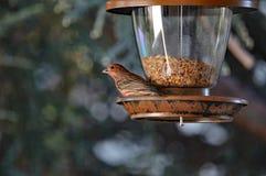 Σπουργίτι στον τροφοδότη πουλιών Στοκ εικόνα με δικαίωμα ελεύθερης χρήσης