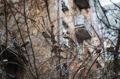Σπουργίτι στους κλάδους των θάμνων Χειμερινές εργάσιμες μέρες για τα σπουργίτια Κοινό σπουργίτι στους κλάδους στοκ φωτογραφία με δικαίωμα ελεύθερης χρήσης