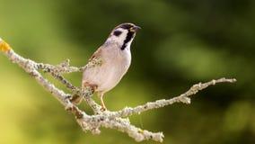 Σπουργίτι στο δάσος φθινοπώρου Στοκ εικόνες με δικαίωμα ελεύθερης χρήσης