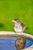 Σπουργίτι στο λουτρό πουλιών Στοκ Εικόνες