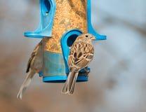 Σπουργίτι τομέων που τρώει στον τροφοδότη πουλιών Στοκ Εικόνα