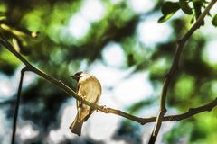 Σπουργίτι όταν τα πουλιά επιστρέφουν Καθορισμένος ελεύθερος domesticus πομπών Στοκ Φωτογραφίες