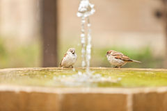 Σπουργίτι δύο στο fontain Στοκ Εικόνες