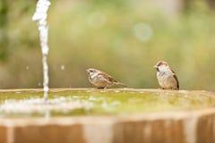 Σπουργίτι δύο στο fontain Στοκ Φωτογραφίες