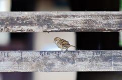 Σπουργίτι Στοκ Φωτογραφίες
