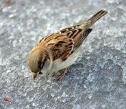 σπουργίτι 5 Στοκ φωτογραφία με δικαίωμα ελεύθερης χρήσης