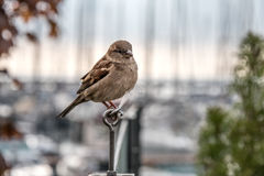 Σπουργίτι Στοκ φωτογραφία με δικαίωμα ελεύθερης χρήσης