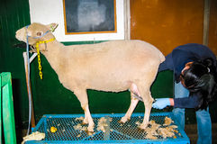 Σπουδαστής που καλλωπίζει ένα εσωτερικό πρόβατο Στοκ εικόνες με δικαίωμα ελεύθερης χρήσης