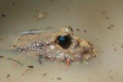 Σπρώξιμο Mudskipper από το νερό Στοκ Φωτογραφίες
