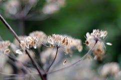 Σπόροι άγριο angelica Στοκ Φωτογραφίες