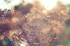 Σπόροι άνηθου στον ήλιο στοκ εικόνες
