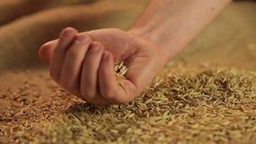 Σπόροι βρωμών που μειώνονται στο χέρι του αγρότη, πρότυπα της ποιότητας αγροτικών προϊόντων απόθεμα βίντεο