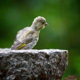 Σπόροι ηλίανθων σίτισης πουλιών από τον τροφοδότη Greenfinch Στοκ εικόνες με δικαίωμα ελεύθερης χρήσης